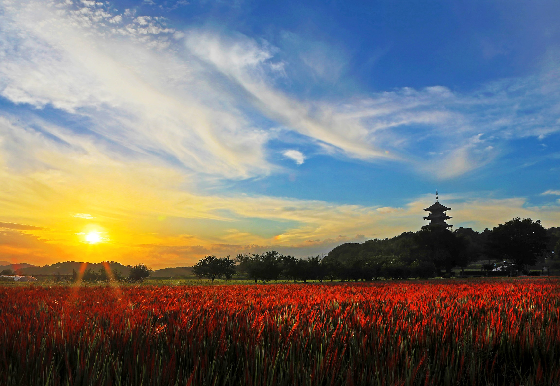 夕日を浴びる赤米
